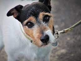 собака Джек-рассел терьер